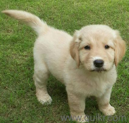 Golden Retriever Male Puppy Available At Reasonable Price In Bapu