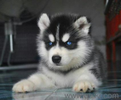 Siberian Husky Puppy For Sale Find Friendly Companion In Dogs In