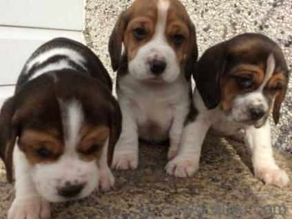 Cute beagle puppies available quikr cute beagle puppies available voltagebd Image collections