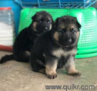 7989459666 GERMAN SHEPHERD Male and female Pure Breed Available puppies available for Pet Kennel in Hyderabad