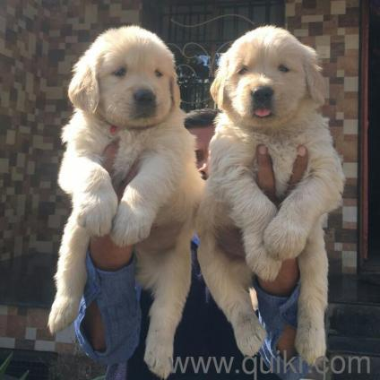 Amazing Golden Retriever Chubby Adorable Dog - 9841242324-CUTE-FACE-GOLDEN-RETRIEVER-CHUBBY-QUALITY-Puppies-available-for-sale9840119919-VB201705171774173-ak_LWBP468249489-1524229330  Perfect Image Reference_3360  .jpeg