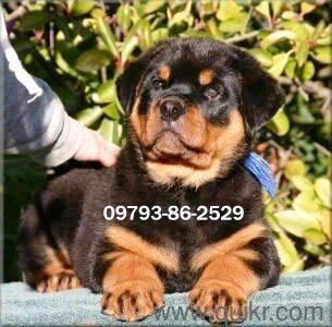 Punch Face Heavy Rottweiler German Line Puppies available in Hyderabad-- Free Shipping