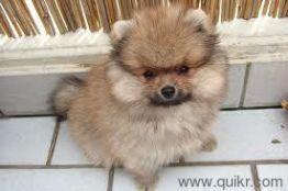 977367o293 Tea Cups Chihuahua Puppy For Sale In Delhi Quikr