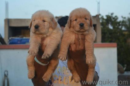 For Adoption Champion Line Golden Retriever Puppies For Adoption In