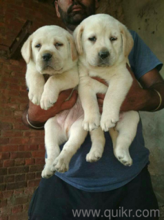 For Adoption For Adoption 9101073957 All Kinds Of Puppies For