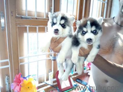 For Adoption 97112 55395 Siberian Husky Chow Chow American Bully All
