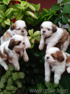 For Adoption 98 07 Show Quality Shih Tzu Puppies Quikr