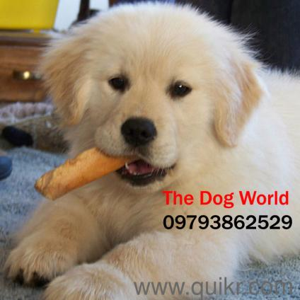 For Adoption Show Quality Golden Retriever Puppies In Pune 97 29 Quikr