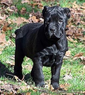 For Adoption Cane Corso Puppies Adoption Quikr