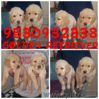 Pitbull dog for sale in punjab in Jalandhar