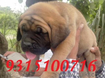 Greatdane dogs for sale in firozpur punjab in Firozpur