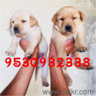 Pitbull dog for sale in punjab with price in Jalandhar