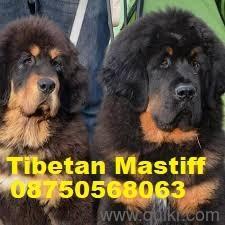 Neapolitan mastiff dogs for sale in Kolkata