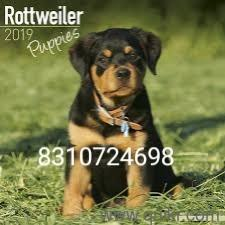 Rottweiler free adoption in Bangalore