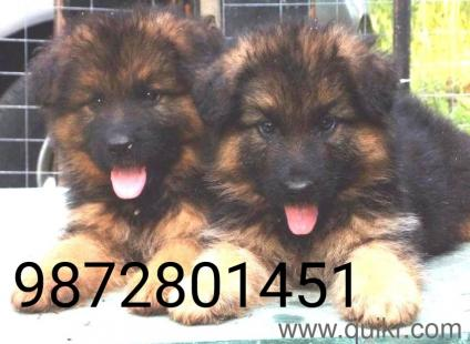Dogs for sale in punjab in Chandigarh