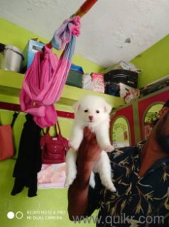 for adoption chubby pomeranian male and female puppies