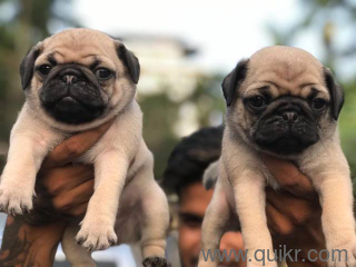 Dog for sale in olx in Jorhat