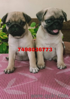 Pug puppies for adoption in Pune