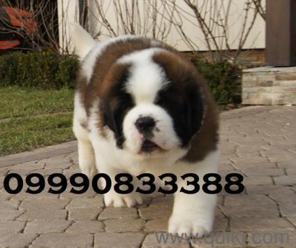 Pitbull puppies for sale in kerala in Kochi