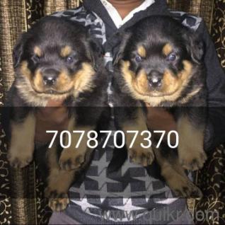 Bakharwal Dog Olx