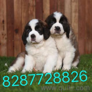 Saint bernard puppies for sale in Raipur