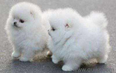 Teacup pomeranians in All Quikr