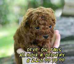 Teacup poodle puppies in chandigarh in Chandigarh