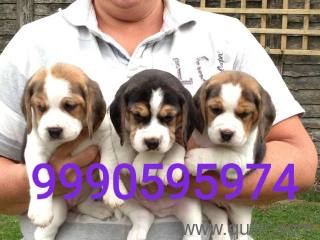 for adoption 9999892095 i have good quality beagle french