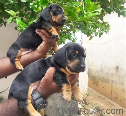 for adoption superb dachshund puppies contact 9703875002 | Quikr