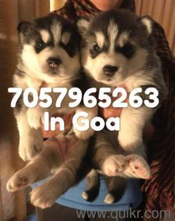Tibetan mastiff dogs for sale in tamil nadu in Hubli