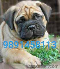 Shih tzu puppies for sale in Noida