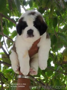St bernard puppies for sale in Jabalpur