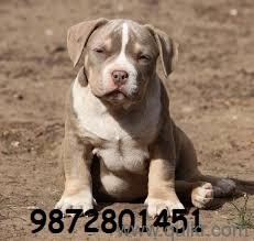 American bully sale price in Chandigarh