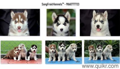 For Adoption 9860777723 Siberian Husky Puppies Import And Champion