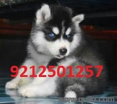 For Adoption 92 57 Dog All Breed Puppies For Siberian Husky Pups