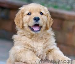 Golden Retriever Price 5000 To 10000 In Delhi