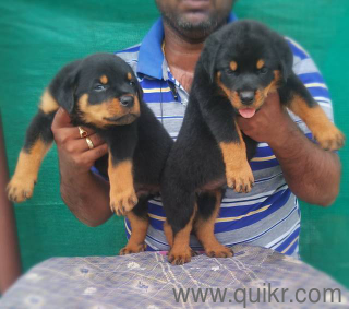 for adoption all types breeds puppies | Quikr