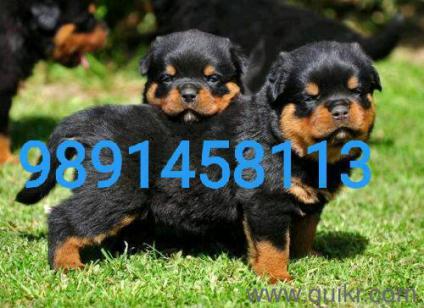 Rottweiler Price In Kerala In Kochi
