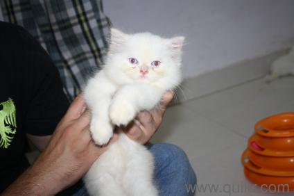 Buy persian cat in coimbatore