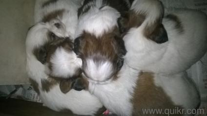 Shitzu puppy 35 days ready for sale 9738133165 kerala chennai mumbai hyderabad