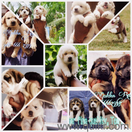 import quality champion blood line age puppies available !All puppies available