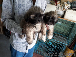 9346389112 Excellent Quality pure breed genuine Lhasa apso puppies @ Hyderabad