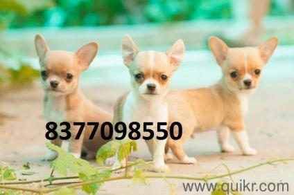 Call 8377o9855o Chihuahua Puppy And Puppies For Sale At Best Price