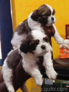 For Adoption 9877424664 All Dog Breeds Are Labrador German Shepherd