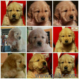 For Adoption Golden Retriever Puppies In Pune For Loveable Home Quikr