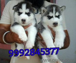 For Adoption Siberian Huksy Chow Chow Akita Lhasa Apso Shihtzu 99