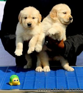 For Adoption Not Free Golden Retriever Puppies Champion In Pune 986o