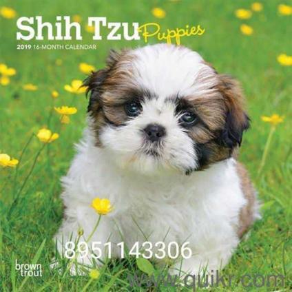 For Adoption 89511 43306 Tri Colour Shihtzu Puppies Male And Female