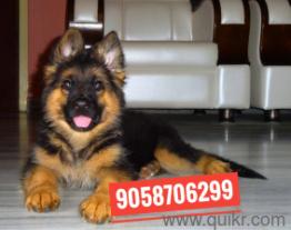For Adoption 9o587o6299 Labrador Puppy German Shepherd Rottweiler
