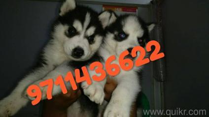 For Adoption 9711436622 Heavy Bone Husky Chow Chow Newfoundland